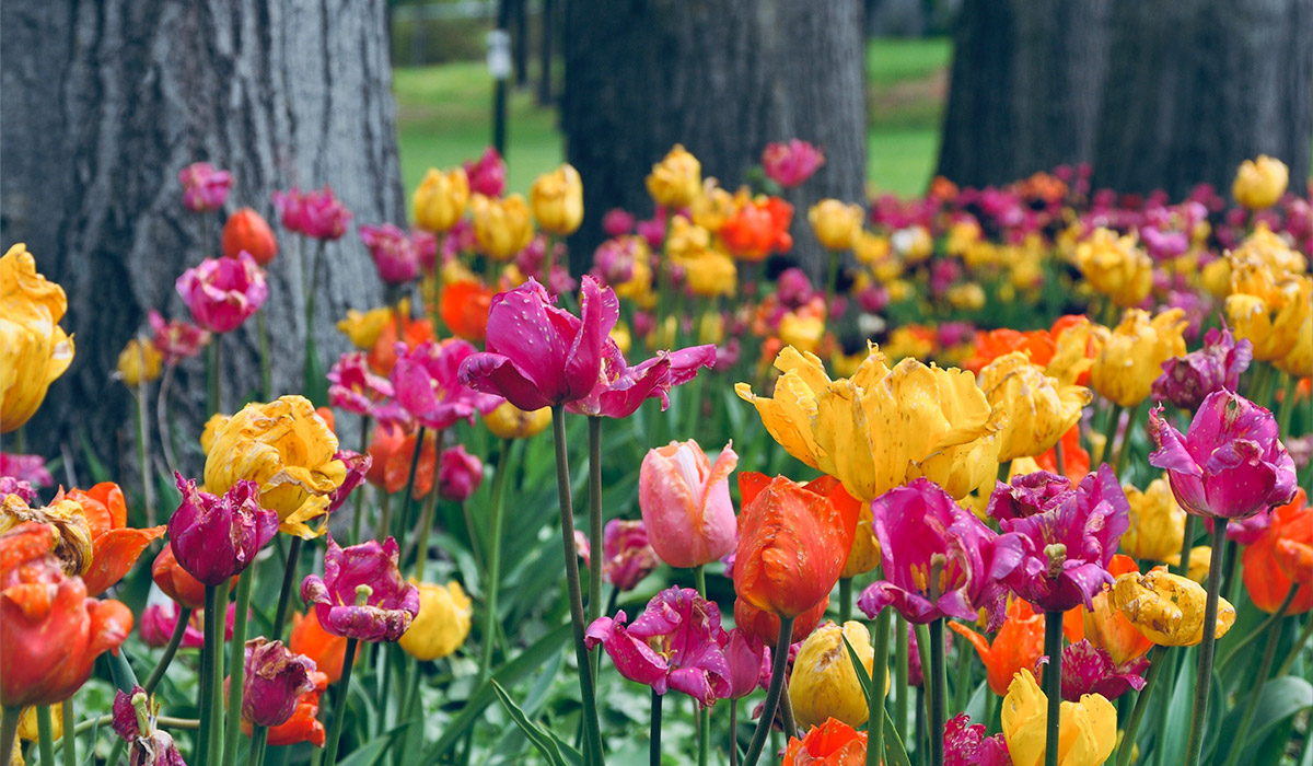 colorful assortment of tulips